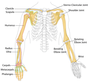 Upper human skeleton with arm bones labeled.