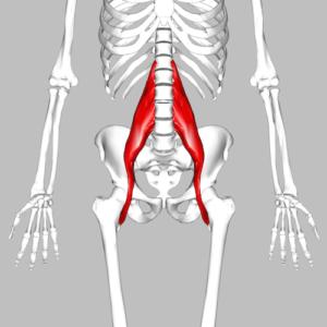 Human skeleton showing psoas muscles