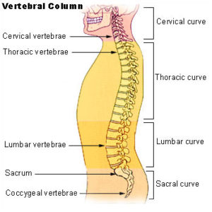 Drawing of full spine in torso, side view
